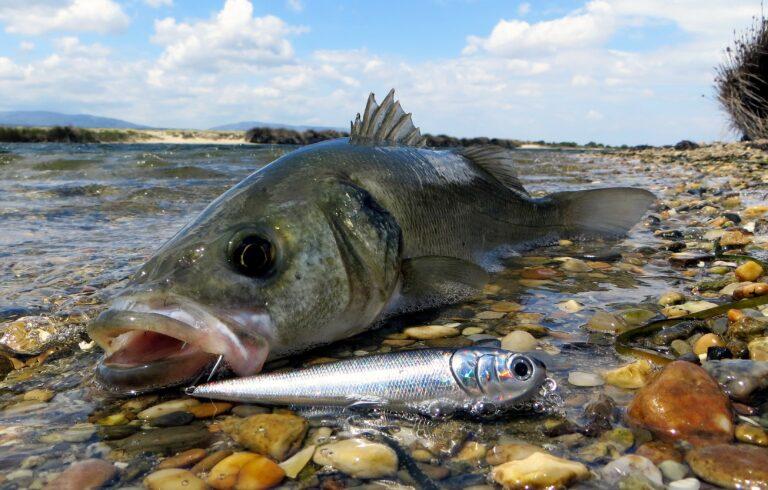 La pêche du loup en étang littoral