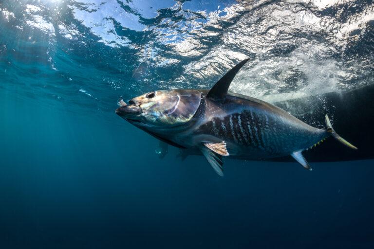 Le Pays Basque l'eldorado pour la pêche aux thons sur chasse !