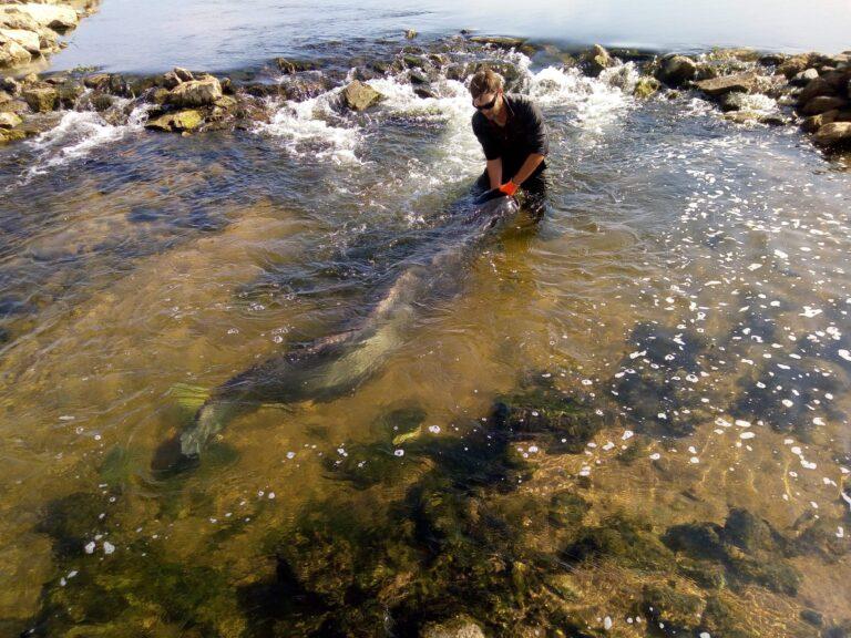 La pêche du silure au leurre du bord